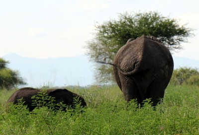 Elephant from behind