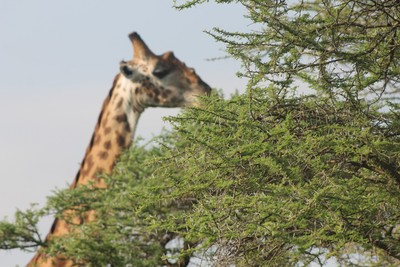 Giraffe's near the camp