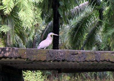 Tiger heron on the bridge