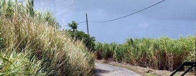 Sugar cane along the roadside