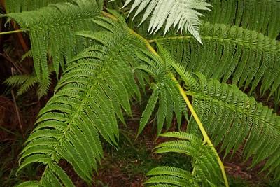 Tree Ferns and Ferns