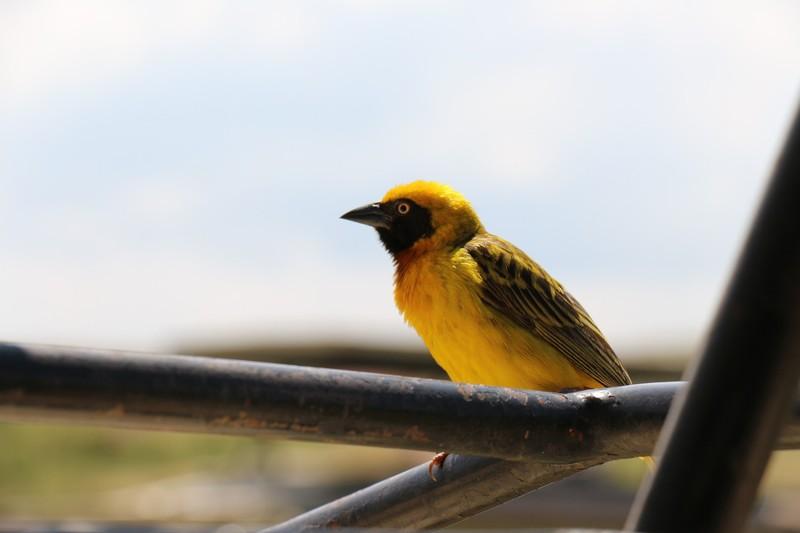 Spakes's weaver bird