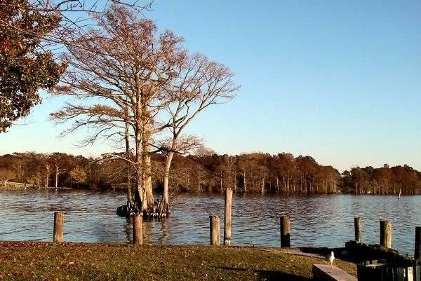 Bald Cypress on the waterfront