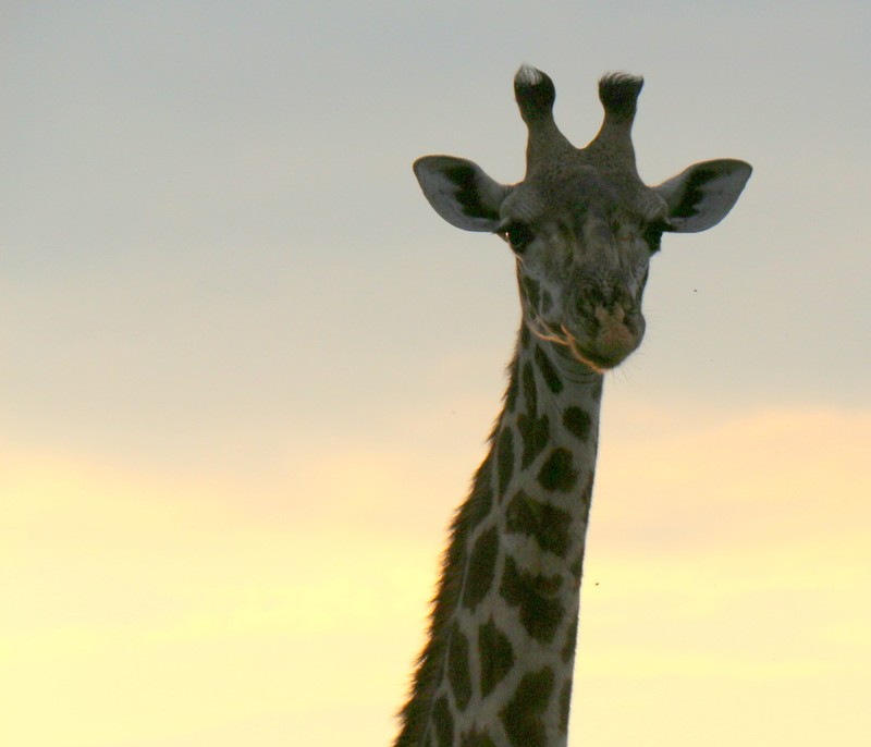 Giraffe looking down