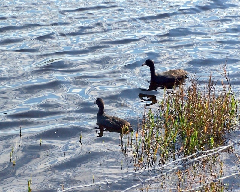 Coots paddling next to the Alligator warning sign