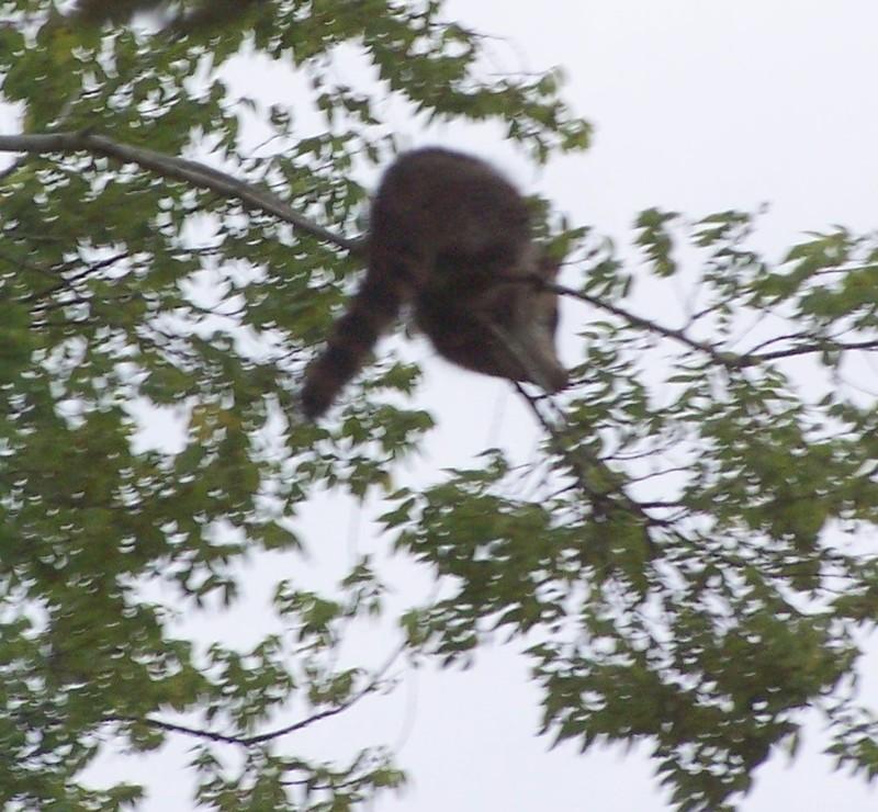 Raccoon in tree outside
