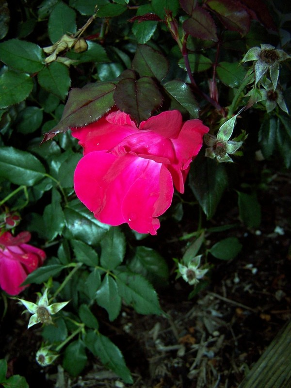 Rose at Rips