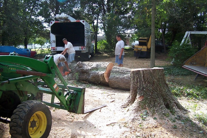Cutting up the maple tree