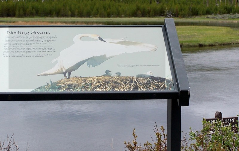 Trumpeter Swan sign