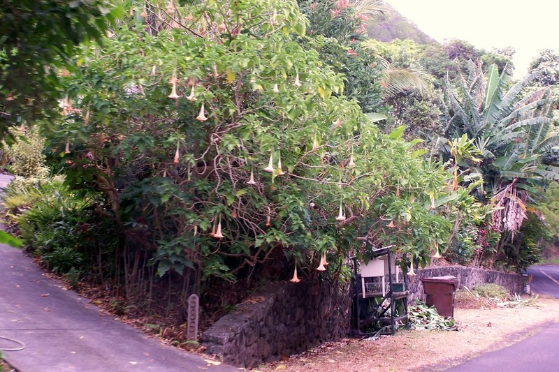 Angel's trumpet - not used in leis because it is poisonous