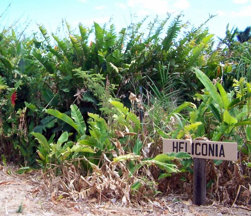 Heliconia
