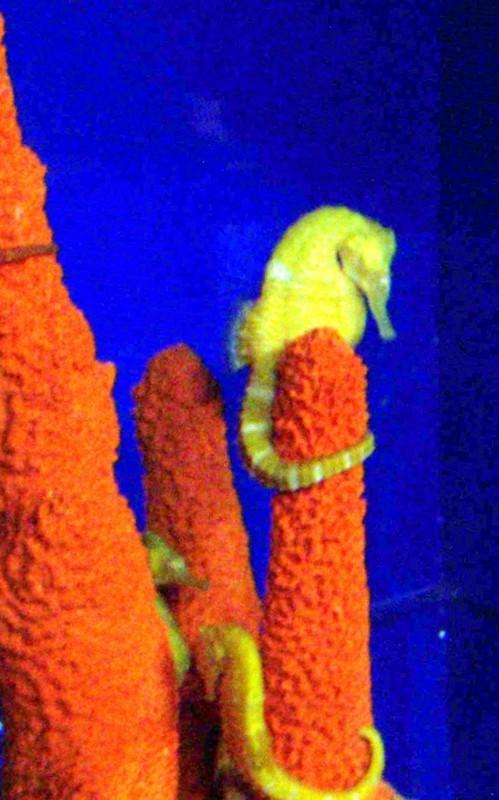 Species seahorse
