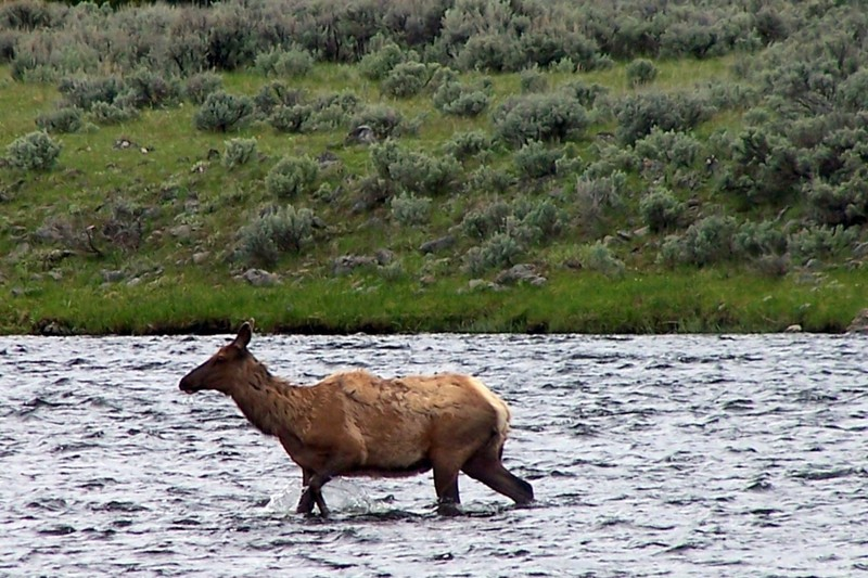 Elk wading across the river