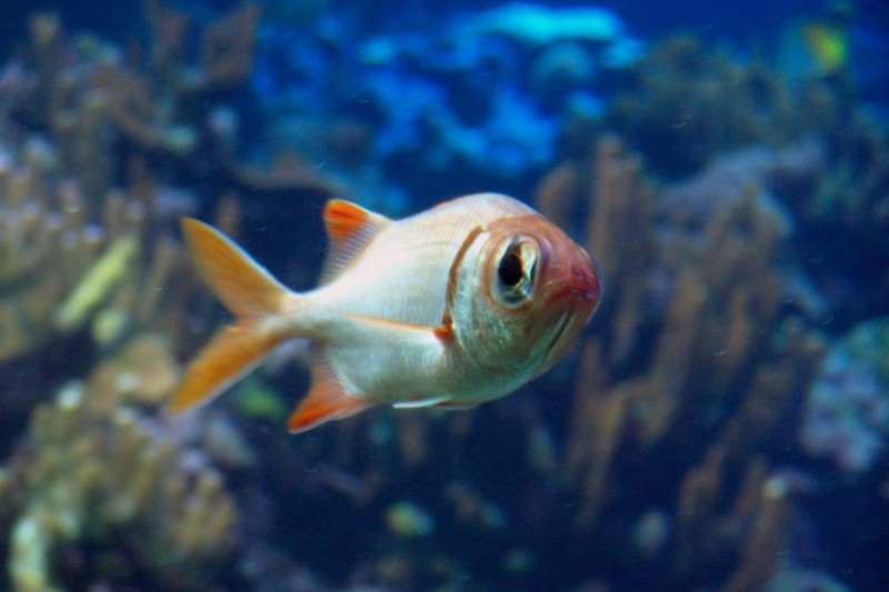 Big eyed soldier fish