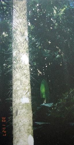 Toothpick tree