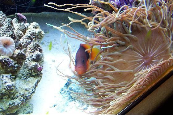 Fish and anemone in their fish tank