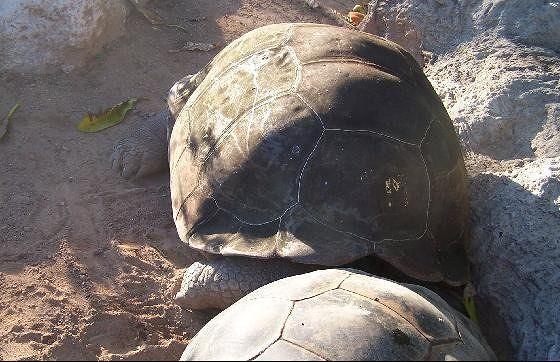 Galapagos Tortises