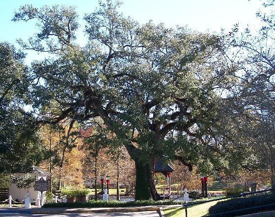 Evangeline Oak in 2004