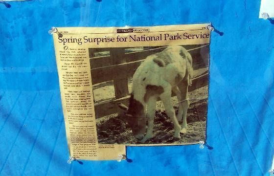 Ocracoke Observer article about pony foal