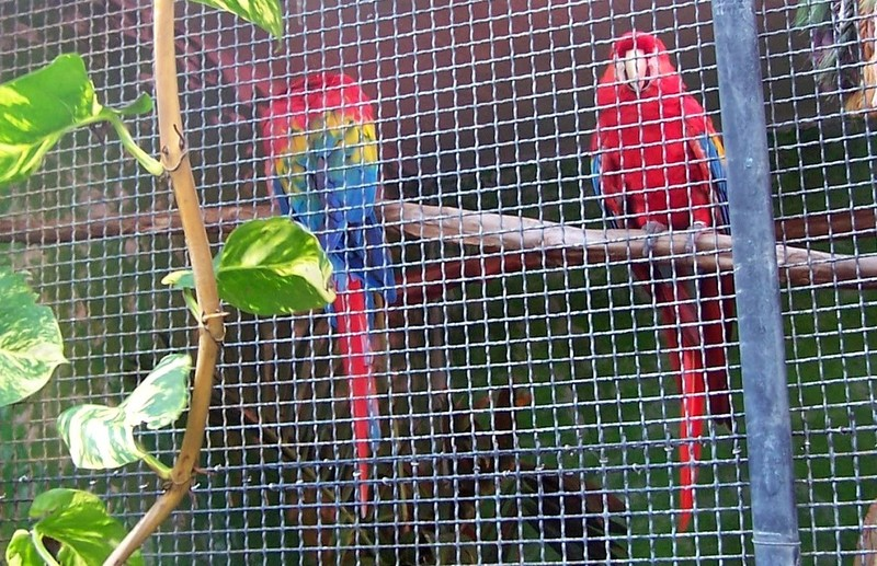 Scarlet Macaws in the zoo