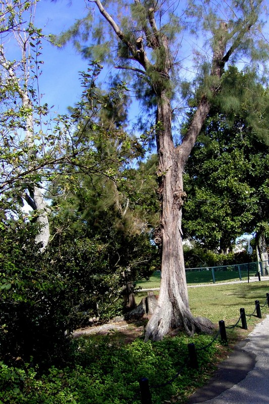 Botanical Garden cedar