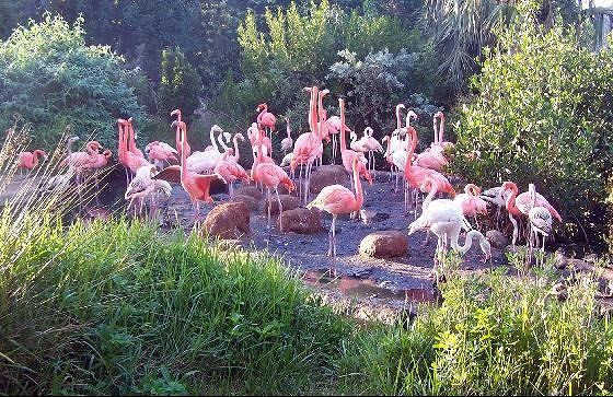 Flamingos in the zoo