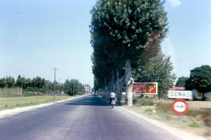 Plane trees along the road