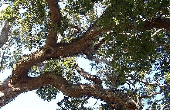Looking up at a Live Oak