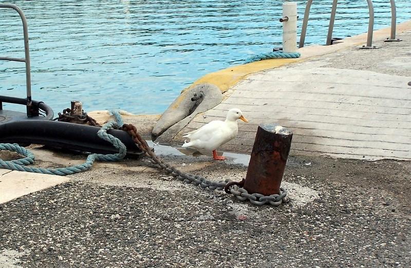 Duck by a bollard