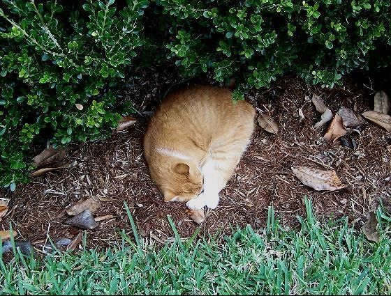 Cat napping under the hedge