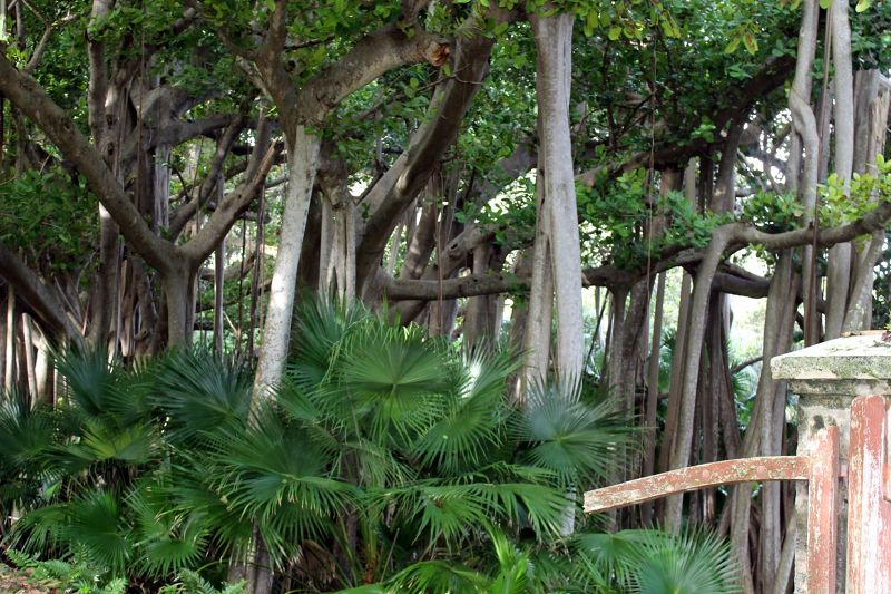 Large non-native Banyan tree (taking over)