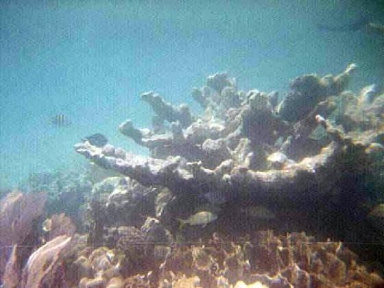 large_2486028-more_coral_Caye_Caulker.jpg