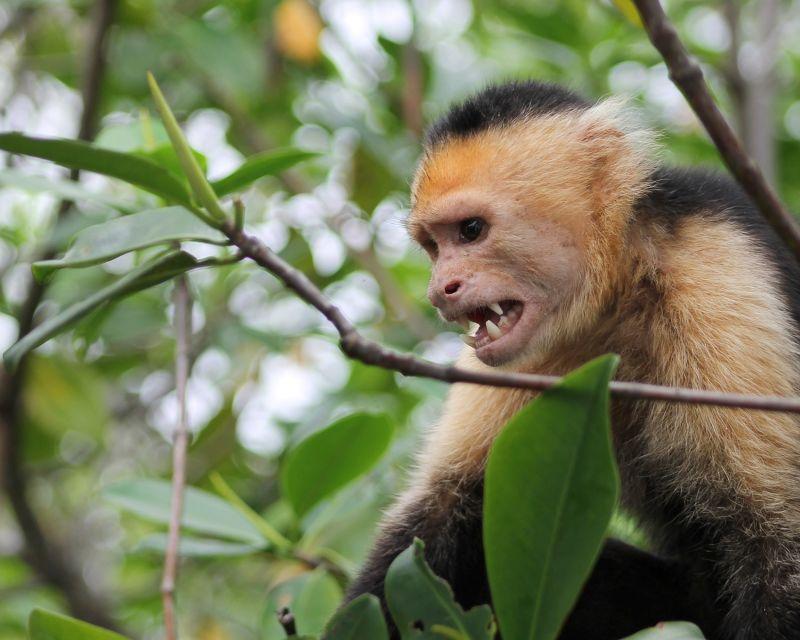 Agitated White Faced Monkey