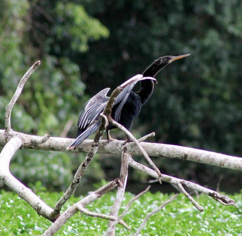 Male anhinga drying his wings
