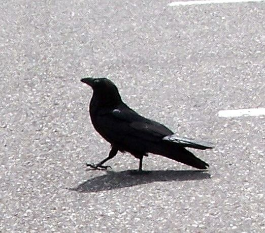Crow walking in the parking lot