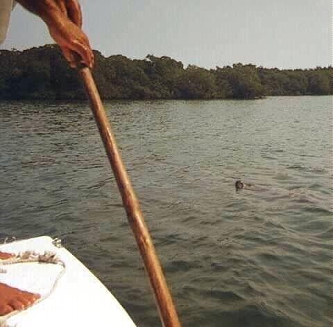 Poling the boat toward a manatee