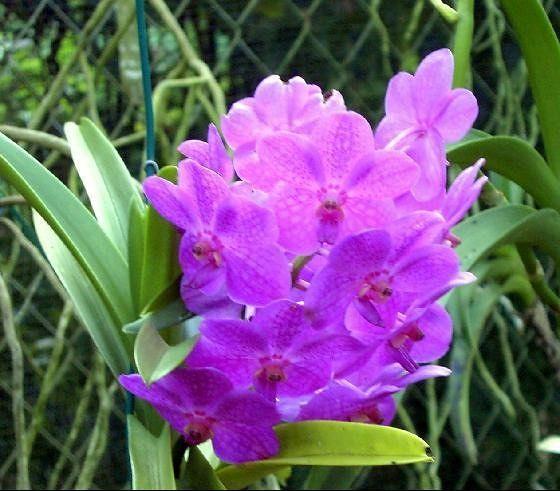 Orchid - Barbados