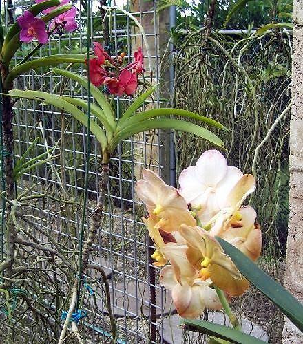 Orchids - Barbados