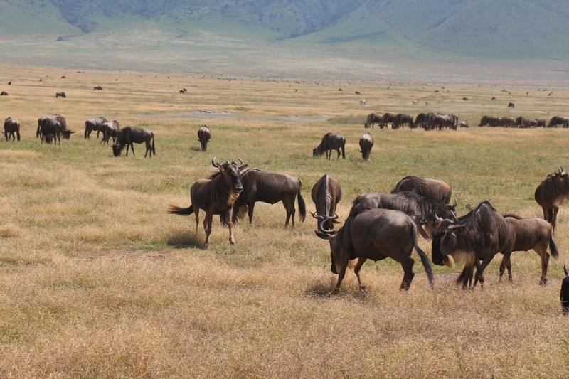 herds of wildebeests