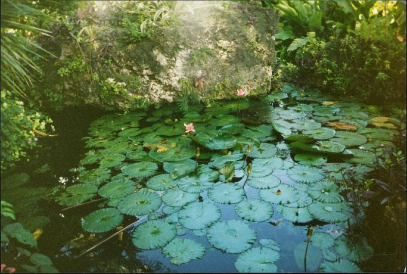 Lily pond - Bathsheba