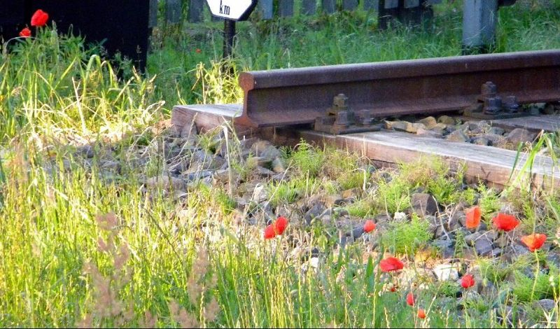 Poppies by the tracks