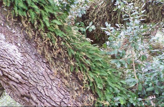 Resurrection Fern on the live oaks