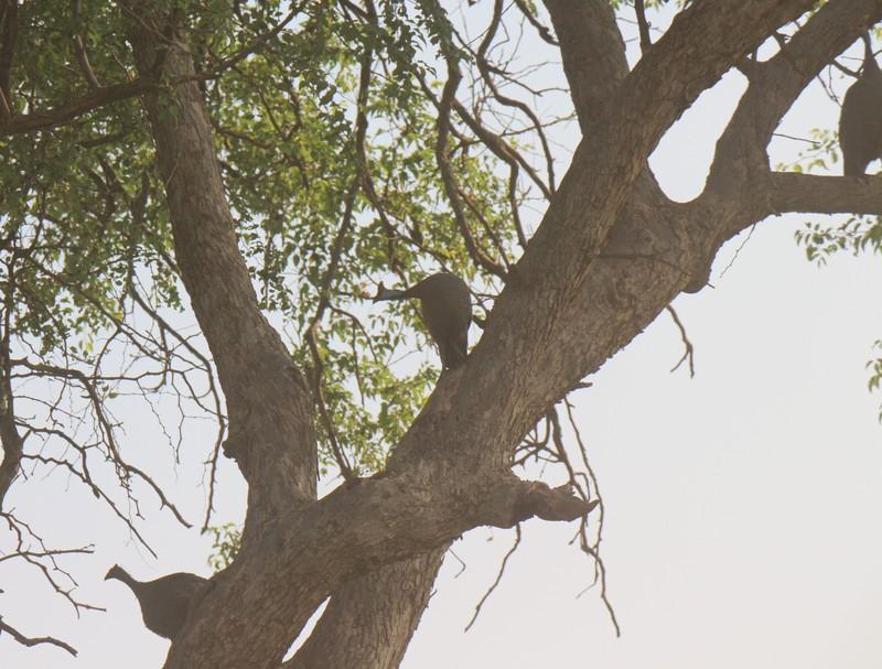crested guinea