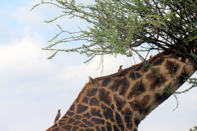 Ox peckers on a giraffe