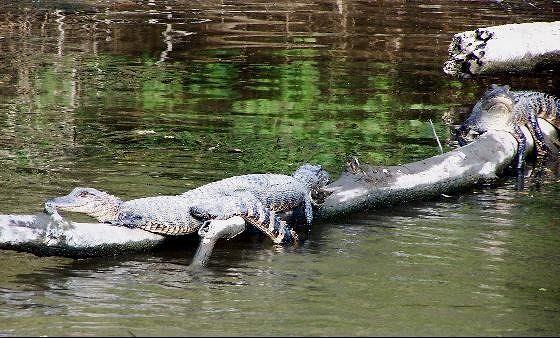 3 medium Alligator's sunning on a log