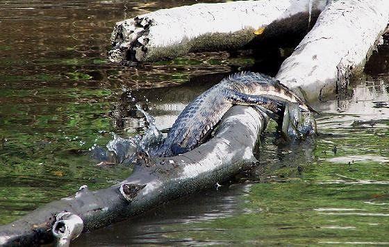 Alligators diving off a log