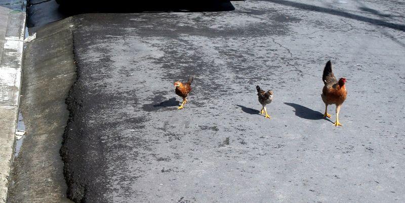 Street chickens
