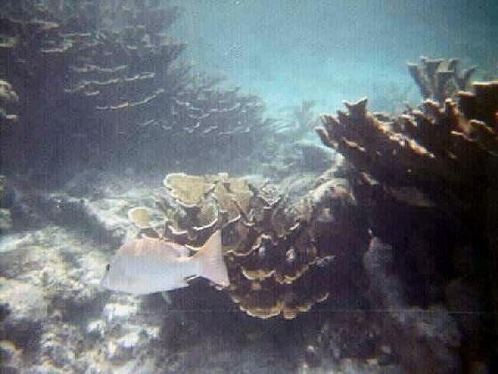 large_668926-More_snorkeling_pictures_Caye_Caulker.jpg