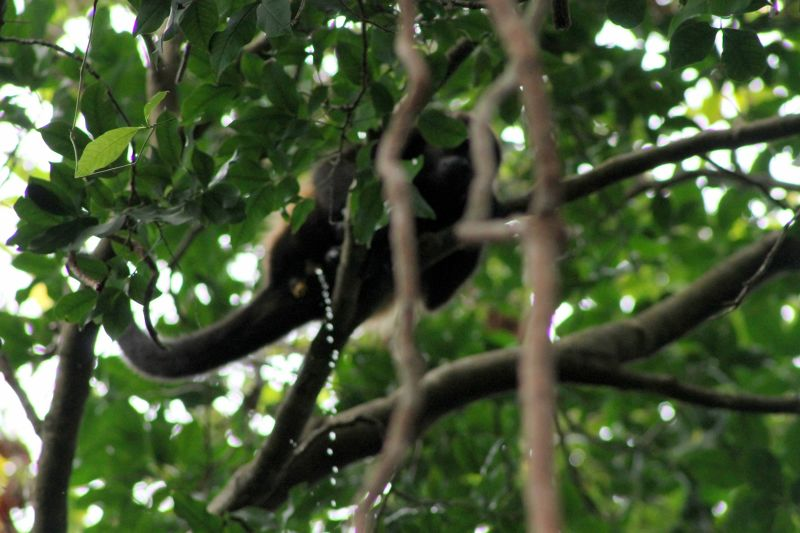 Pee-ing monkey on cheating tourists