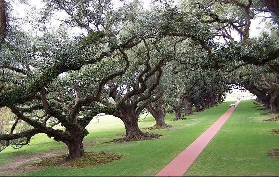 Line of live oaks from the verannah